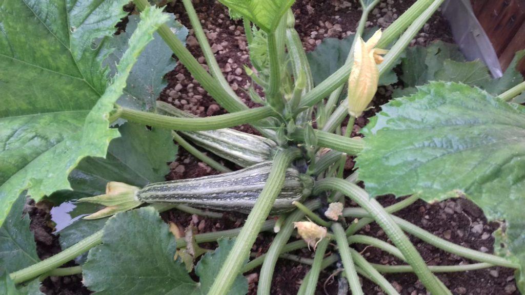 zucchine dell'orto giardino